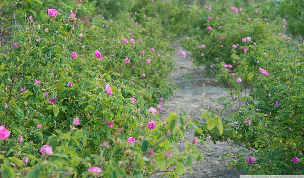 Η ΡΟΔΗ Η ΔΑΜΑΣΚΗΝΗ. Η άγρια τριανταφυλια που μας δίδει το ροδόσταγμα