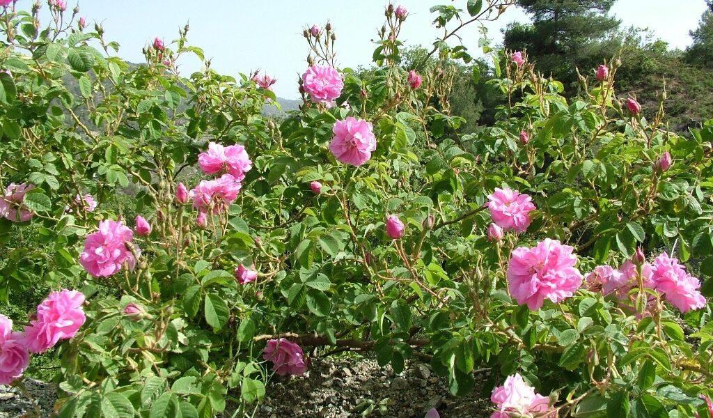 rose damascena plants ΡΟΔΗ Η ΔΑΜΑΣΚΗΝΗ ΠΟΥ ΜΑΣ ΔΙΔΕΙ ΤΟ ΡΟΔΟΣΤΑΓΜΑ